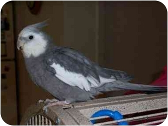 Cockatiel for Sale in Tampa, Florida - Meeka & Georgia