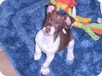 Jack Russell Terrier Mix Puppy for Sale in New Castle, Pennsylvania -