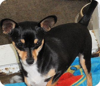 Chihuahua/Manchester Terrier Mix Dog for adption in Seattle, Washington - Caper