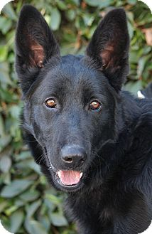 German Shepherd Dog Mix Dog for Sale in Los Angeles, California - Rio von Rerik