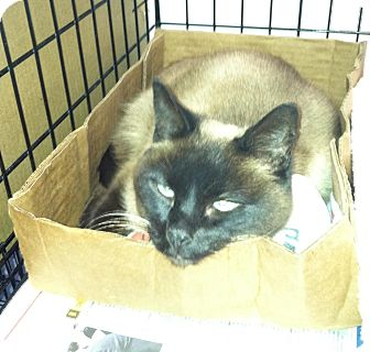Siamese Cat for Sale in whitestone, New York - Twila