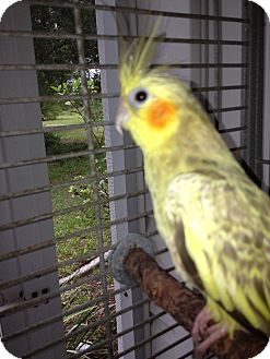 Cockatiel for Sale in Punta Gorda, Florida - Sunshine