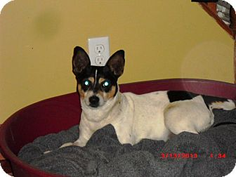 Toy Fox Terrier Dog for adption in Brougham, Ontario - Artie
