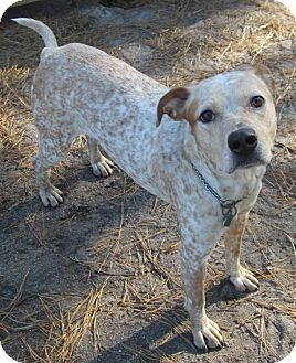 Catahoula Leopard Dog Mix Dog for Sale in Forked River, New Jersey - Daisy