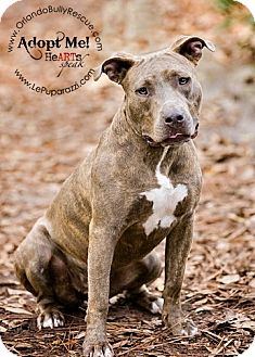 American Pit Bull Terrier Mix Dog for Sale in Orlando, Florida - Tinkerbell