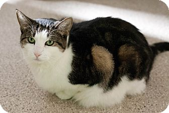 Domestic Shorthair Cat for adoption in Chicago, Illinois - Polly