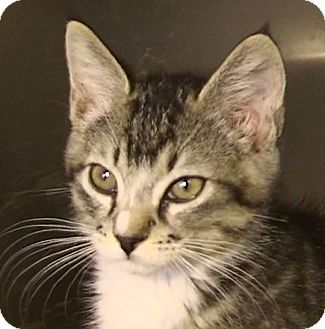 Domestic Shorthair Kitten for Sale in El Cajon, California - Jonny