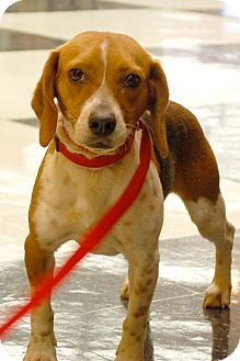 Beagle Mix Dog for Sale in London, Kentucky - Ellie