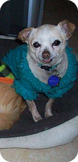 Chihuahua Dog for adption in Studio City, California - Pip (4 lbs.)