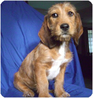 Basset Hound Mix Puppy for adption in San Diego, California - BRAD