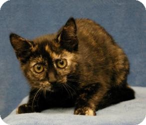Domestic Shorthair Cat for Sale in Sacramento, California - Katie