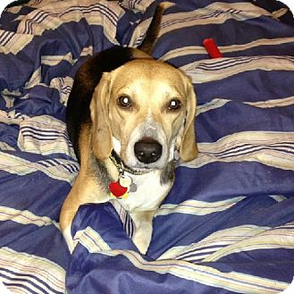 Beagle Dog for adption in Houston, Texas - Badger aka Toby