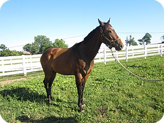 Thoroughbred for Sale in Lexington, Kentucky - Magic