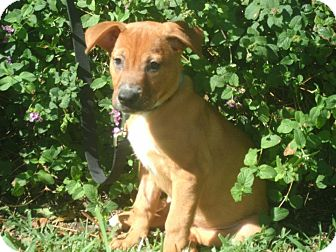 Labrador Retriever/Golden Retriever Mix Puppy for Sale in hollywood, Florida - Rosie