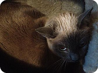 Snowshoe Cat for adoption in Arlington, Texas - Lady