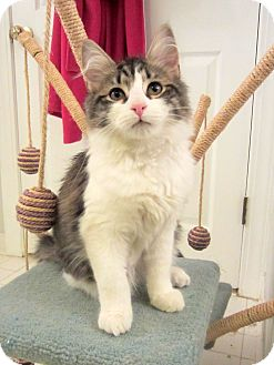 Domestic Mediumhair Kitten for Sale in Arlington, Virginia - Ivan