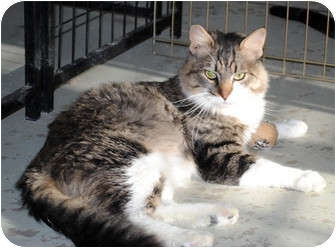 Domestic Mediumhair Cat for Sale in Palmdale, California - Gilbert