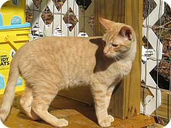 Domestic Shorthair Cat for Sale in Bedford, Virginia - Emmanuel