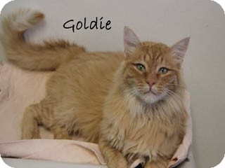 Domestic Mediumhair Cat for Sale in Hamilton, Montana - Goldie