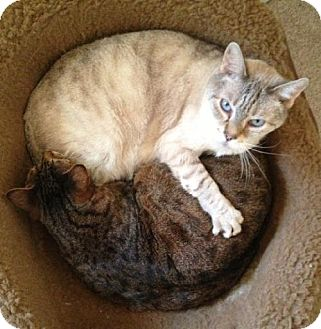 Bengal Cat for adoption in Marlton, New Jersey - Three Bonded Seniors