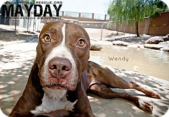 American Pit Bull Terrier Mix Dog for adption in Phoenix, Arizona - Wendy