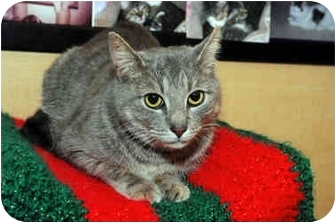 Domestic Shorthair Cat for adoption in Farmingdale, New York - Miles