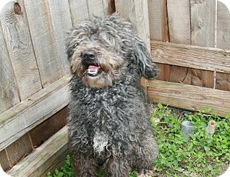 Poodle (Miniature) Mix Dog for Sale in san antonio, Texas - Shooter