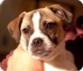 Fox Terrier (Smooth)/Pug Mix Puppy for Sale in Kettering, Ohio - Taz