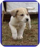 Beagle/Bearded Collie Mix Puppy for Sale in Allentown, Pennsylvania - Larry