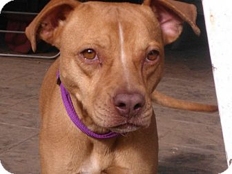 Terrier (Unknown Type, Medium)/American Staffordshire Terrier Mix Dog for Sale in Puyallup, Washington - Josie