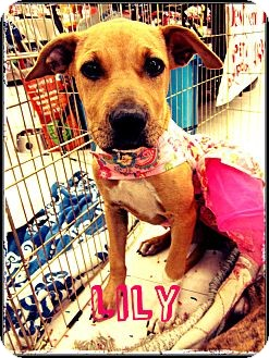 American Pit Bull Terrier Mix Dog for adption in Silsbee TX, Texas - Lily