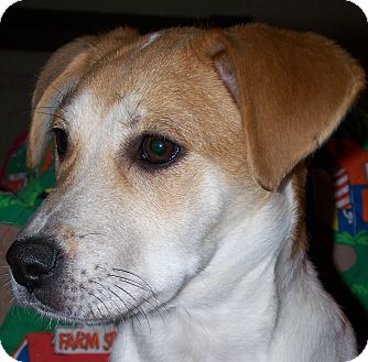 Beagle Mix Puppy for Sale in Sussex, New Jersey - Mindy $75.00 off adopt  fee