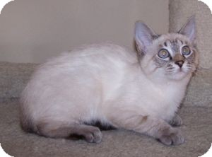 Siamese Kitten for Sale in Colorado Springs, Colorado - K-Tucker1-ZsaZsa