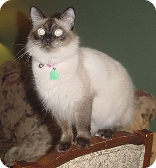 Siamese Cat for adoption in Zephyrhills, Florida - Zoraya