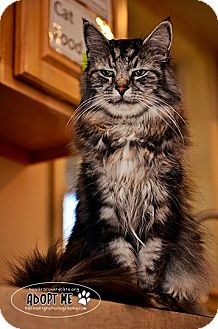 Maine Coon Cat for Sale in Columbia, Maryland - Bootsey