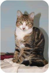 Domestic Shorthair Cat for adoption in North Branford, Connecticut - Murphy