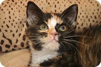 Calico Kitten for Sale in SILVER SPRING, Maryland - CHARLOTTE
