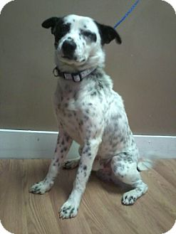 Cattle Dog Mix Dog for adption in Garwood, New Jersey - Mickey