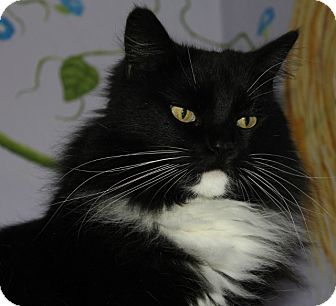 Domestic Longhair Cat for adoption in Grants Pass, Oregon - Sassy