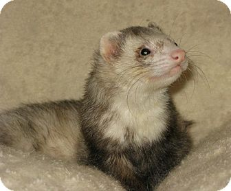 Ferret for Sale in South Hadley, Massachusetts - Baby