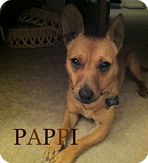 Dachshund/Chihuahua Mix Dog for Sale in San Diego, California - Pappi URGENT