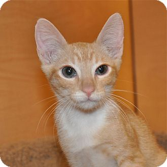 Domestic Shorthair Kitten for Sale in Foothill Ranch, California - Roo