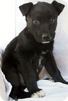 German Shepherd Dog/Labrador Retriever Mix Puppy for Sale in Thousand Oaks, California - Wen