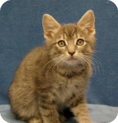 Domestic Shorthair Cat for Sale in Sacramento, California - Len