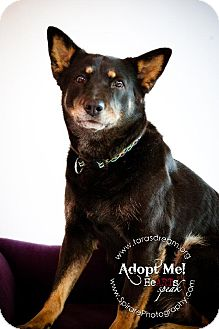 German Shepherd Dog Mix Dog for adption in Independence, Missouri - Janey *CL*
