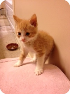 Domestic Mediumhair Kitten for Sale in Emsdale (Huntsville), Ontario - Bosley -ADOPTED