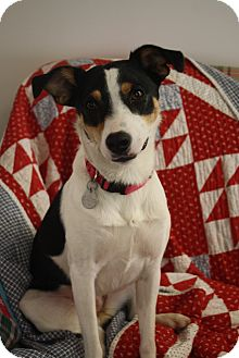 Feist Mix Dog for adption in Homewood, Alabama - Sophie Lee