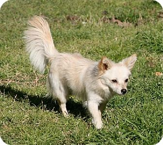 Papillon Mix Dog for adption in Lufkin, Texas - Monty