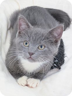 Domestic Shorthair Kitten for Sale in Speonk, New York - Felicity