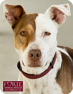 Pointer/Catahoula Leopard Dog Mix Dog for adption in Marina del Rey, California - Roxy